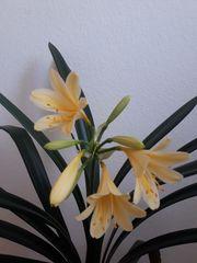 Clivie gelbe Blüte