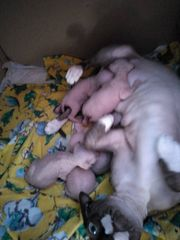 RESERVIERT Canadian Sphynx Baby
