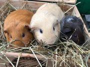 Glatthaar Meerschweinchen - 3 Kastraten