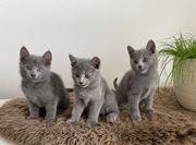Russisch Blau Kitten - nur noch