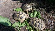Griechische Landschildkröten aus NZ 2020