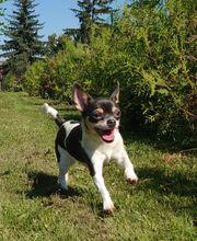 Reinrassige Chihuahua Junghündin