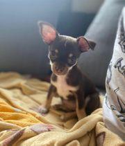 Suche Schoko tan Chihuahua Welpen