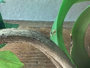 Phelsuma laticauda Goldstaub-Taggecko