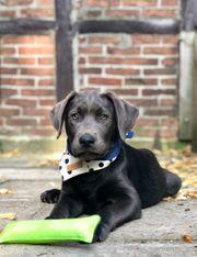 Labrador Welpen mit Ahnenpass in