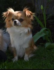 Chihuahua langhaarig Dame