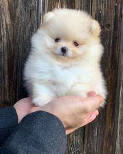 Pomeranian Zwergspitz Boo -Bärchen