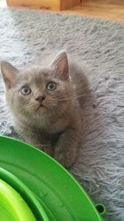 BKH Kitten Wunderschöne Bkh Bäbys