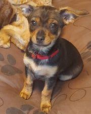 Chihuahua yorkie mix welpe