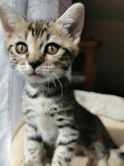 mix kitten