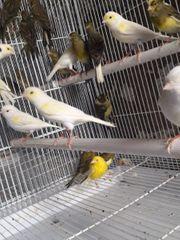 gelb Mosaik Kanarienvögel