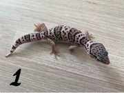 Leopardgecko Mack Snow