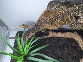 Varanus timorensis