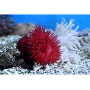 Purpurrosen Anemone Meerwasser Aquarium