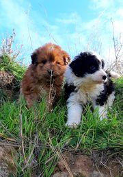 Tibet Terrier Mischlingswelpen nur in