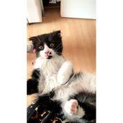 BKH Kitten 3 Mädchen