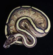 0 1 Superstripe Weibchen Specter