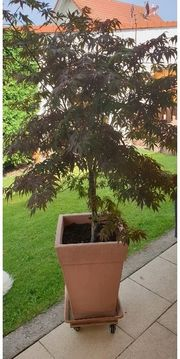 Fächerahorn - Acer palmatum Bloodgood