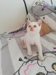 Bkh Katze Kitten Katzen