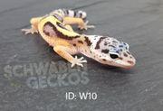 Leopardgeckos Wildfarben