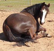 Pferdehof für kleine Zucht gesucht