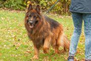Jokers - Schäferhund - 9 Jahre - Tierhilfe
