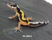 Leopardgecko Zorro Bandit Wildfarben Diablo