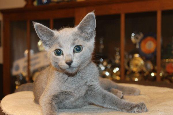 Russisch Blau Katze Pixxy sucht