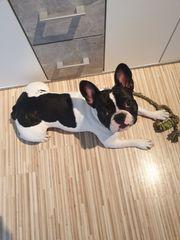 Franz bulldogge