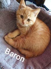BkH Kitten 16 Wochen alt