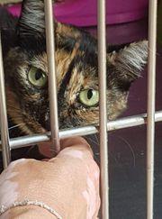 Dreibeinige Katze sucht liebes Zuhause