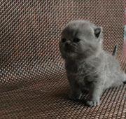 Außergewöhnlicher BKH Kitten Junge
