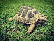Griechische Landschildkröte TH Männchen NZ