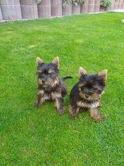 Yorkshire Zwerg-Terrier Babys Pap Chip