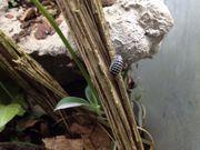 Zebrarollasseln Armadillidium maculatum Zebraasseln Jungtiere