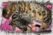 Bengal Kitten brown rosetted