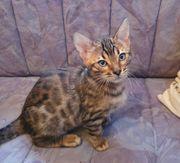 2 süße Bengal Kater Kitten
