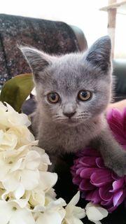 BKH Kitten Kätzchen abgabebereit