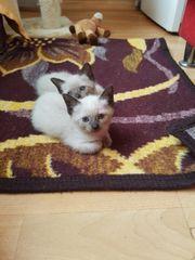 Reinrassige Siam Katzenbaby