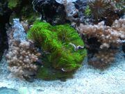 grüne Röhrenkorallen Meerwasser Aquarium Korallen