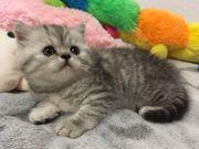 Baby Katzen zu verkaufen
