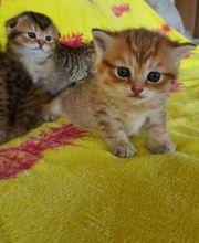Süße Scottish Fold Kitten zu