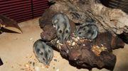 Hamster - Zwerghamster aus Hobbyzucht