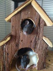 süße Rattenbabys Baby Ratten