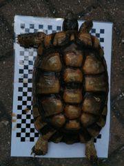 Landschildkröte Breitrand Weibchen Marginata Testudo