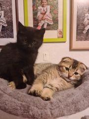 verkaufe 2 BKH Kitten