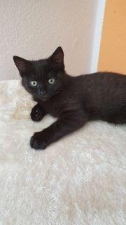 schwarzes Kätzchen 13 Wochen