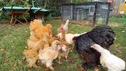 große Cochin Hennen gelb und