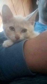 Katze Arabische Mau Baby s