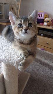 BKH Kätzchen BKH Kitten weiblich